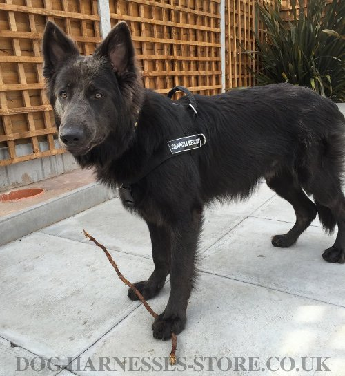 Best Harness for GSD