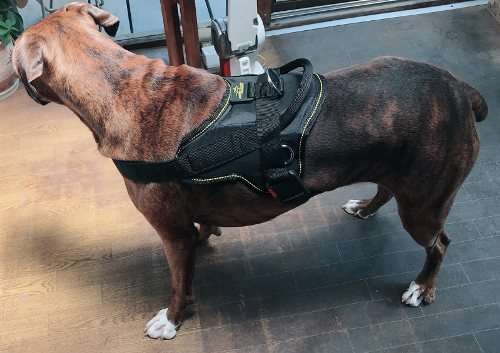 Boxer Dog with Harness