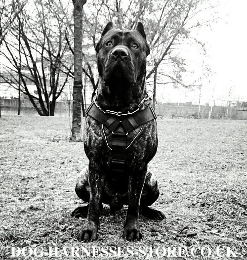 Harness for Cane Corso