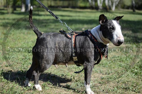 Leather Bull Terrier Harness