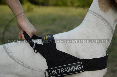 English Pointer Harness