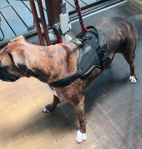 Harness for Boxer Dog in UK