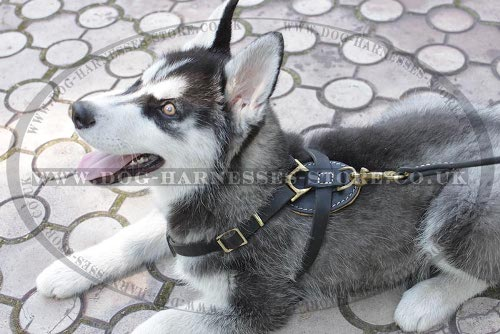 Harness for Siberian Husky Puppy