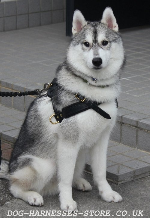 Husky Harness for Pulling