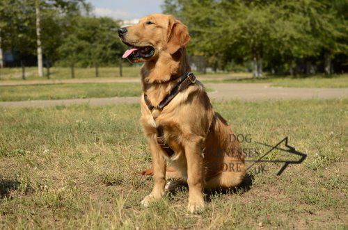 Golden Retriever Leather Harness UK