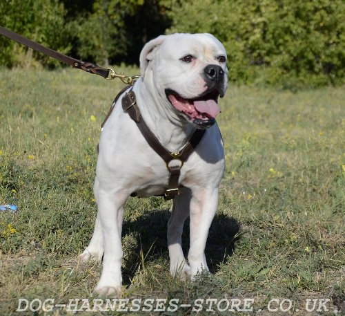 American Bulldog Harness UK