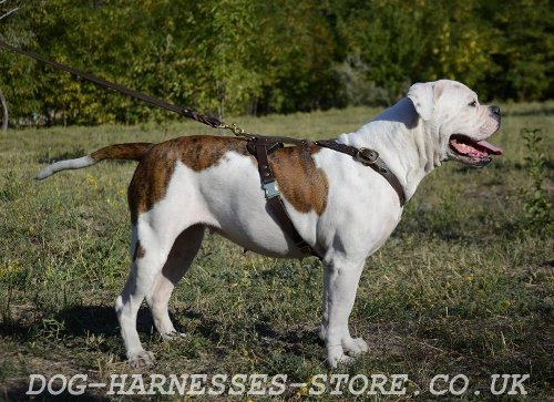 American Bulldog Leather Harness UK