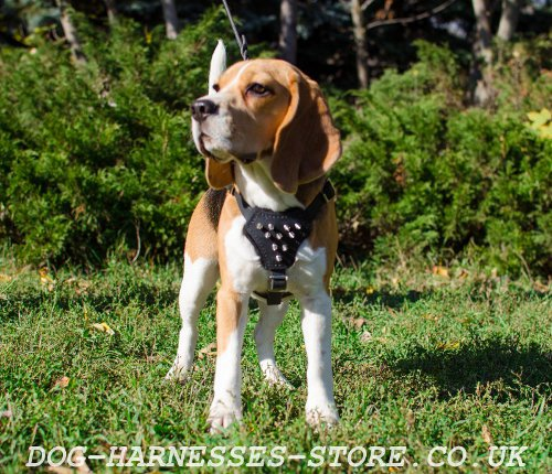 Beagle Harness UK