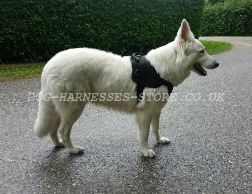 White Swiss Shepherd Dog UK
