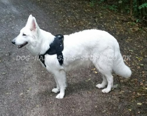 White Swiss Shepherd UK