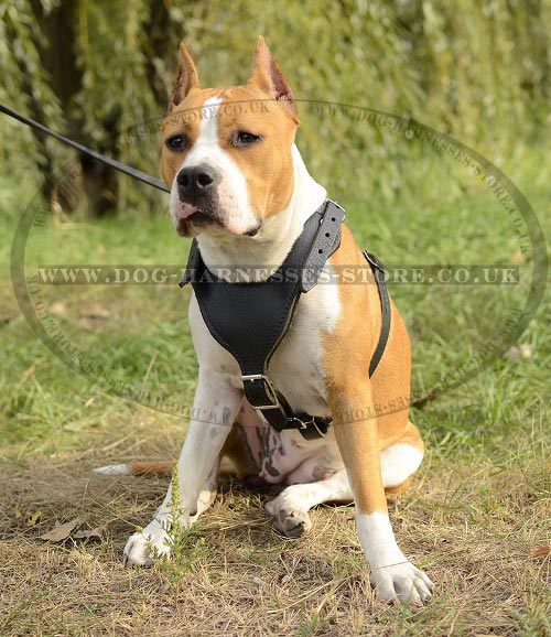 Working Amstaff Harness UK