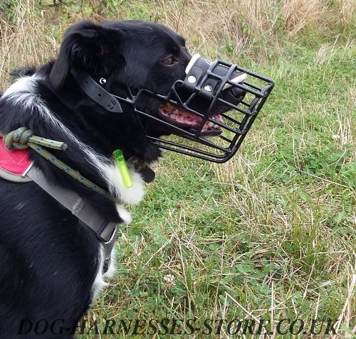 Border Collie Muzzle