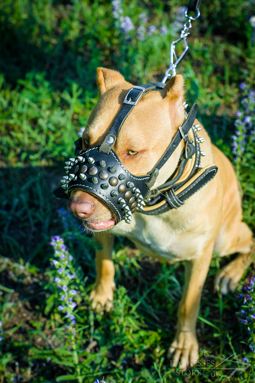 Pitbull in Designer Dog Muzzle