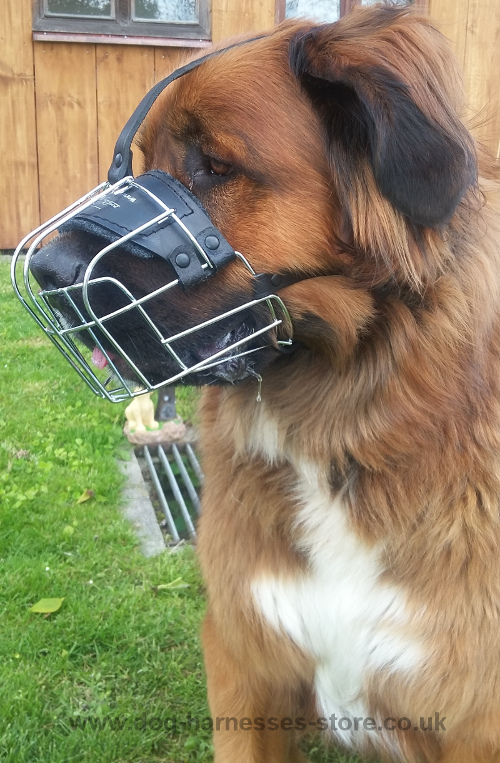 German Beardog Muzzle