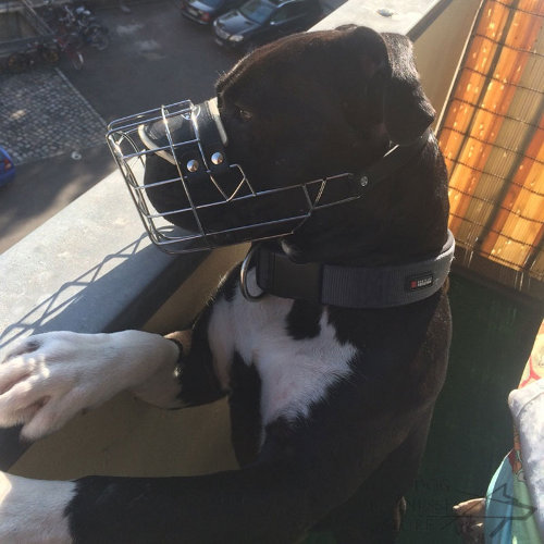 Pitbull Muzzle for Sale