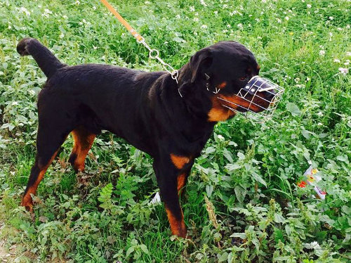 Rottweiler with a Muzzle