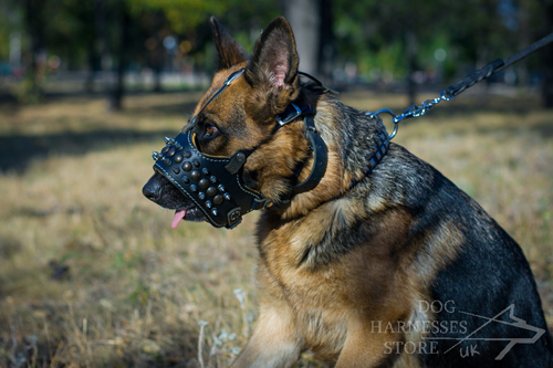GSD in Spiked Dog Muzzle