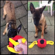 Dog Toy for Belgian Malinois Bite Training, Soccer Ball Bite Tug