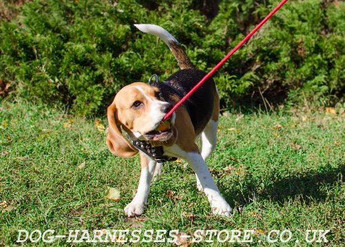 Super Beagles Long Time