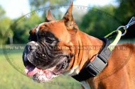 Nylon Dog Collar for Boxer Training and Control, Buckle & Handle