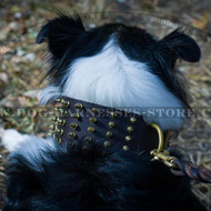 Best Collie Collar of Extra Width with Shining Brass Spikes Rows