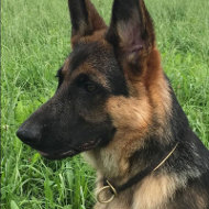 German Shepherd Choke Collar of Leather with Soft Nappa Lining