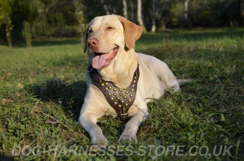 Labrador Therapy Dog
