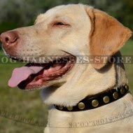 Labrador Collar Leather of Narrow Width with Row of Brass Studs