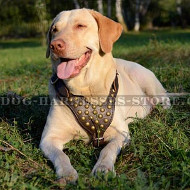 Labrador Harness Adorned with Brass Half-balls for Walks