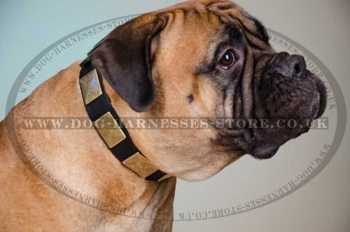Extra Large Dog Plated Collar
