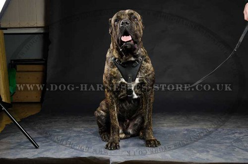Cane Corso Leather Harness UK