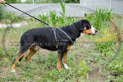 Dog pulling harness for Swiss Mountain dog