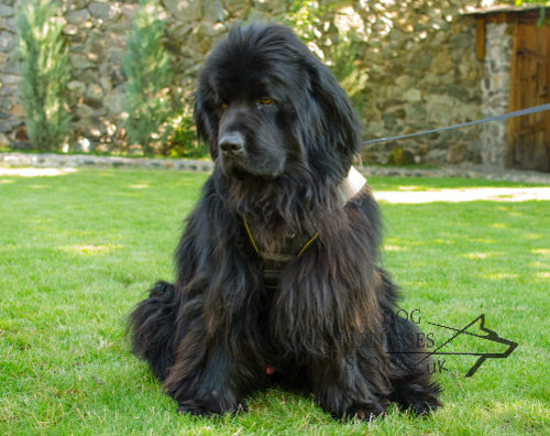 Bestseller! Dog Sport Harness for Newfoundland of 2 Inch Nylon