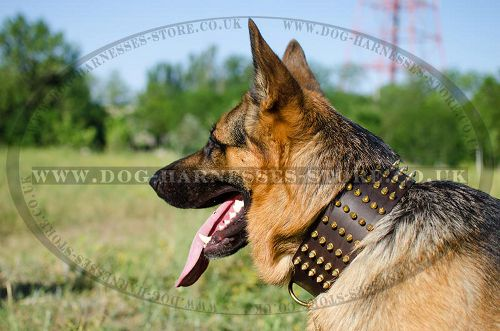 Extra Wide Dog Collar with Brass Spikes for German Shepherd