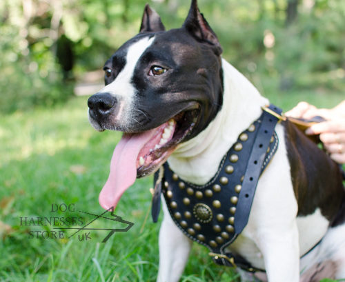 Staffy Dog Harness