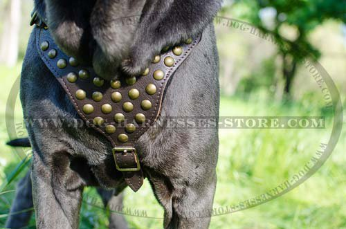 Leather Harness Studded for Mastino Neapolitano