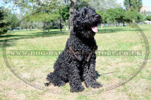 Black Russian Terrier Harness