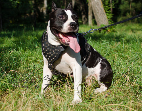 Studded dog harness with pyramids for Staffy