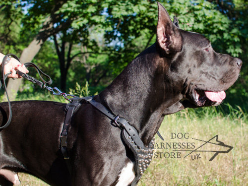 Studded Dog Harness Leather for Great Dane Walking in Style