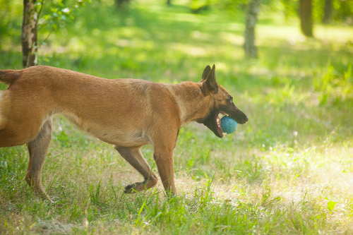 Belgian Malinois Toys UK