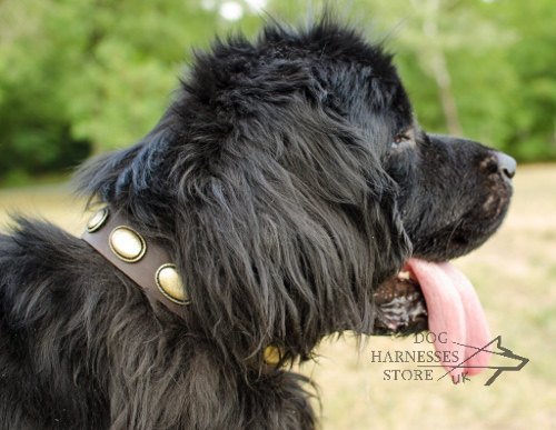 Leather Dog Collar with Vintage Plates for Newfoundland Walking