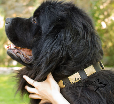 Wide Dog Collar with Brass Plates for Newfoundland - Click Image to Close
