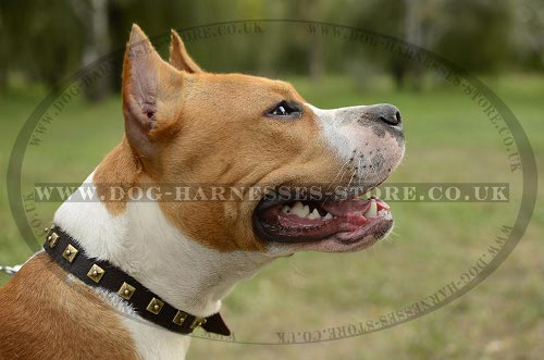 Amstaff Collar of Narrow Leather, Elegant Brass Studded Design - Click Image to Close