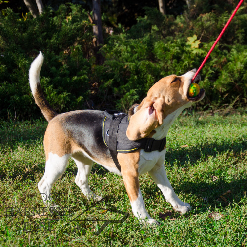 Make Your Beagle Training Fun with New Solid Rubber Ball on Rope