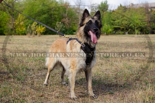 Belgian Tervuren Dog Harness, Perfect for Training and Walking