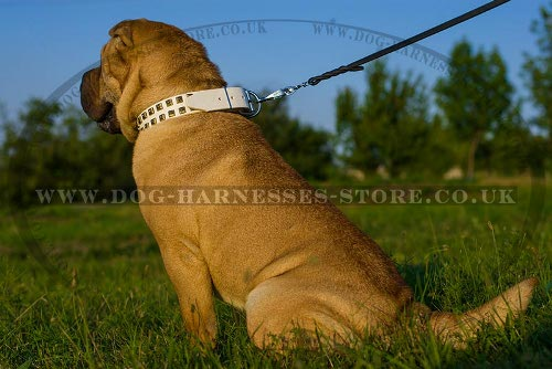 Collar for Shar-Pei Dog of White Leather with Square Brass Studs