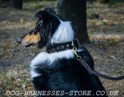 Cool Dog Collar for Collie of Real Leather with Brass Cones