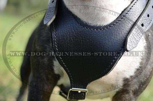Leather English Bull Terrier Dog Harness with Wide Breast Plate