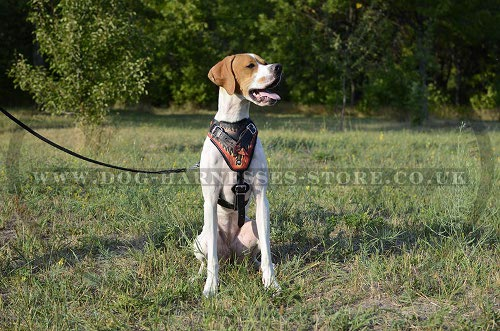English Pointer Harness, Flame Style Fabulous Leather, Handmade - Click Image to Close