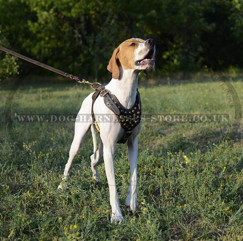 English Pointer Harness with Brass Studded Leather Chest Plate